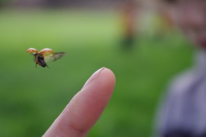 ein Marienkäfer fliegt weg